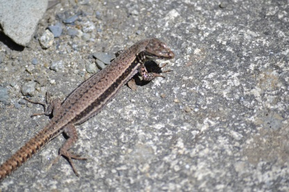 Lizard at Cauterets