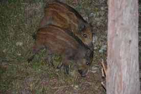 Wild boar in the South of France (Agay)