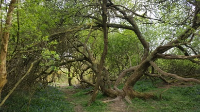 Tree on the 1066 battlefield - TurnrightoutofPortsmouth