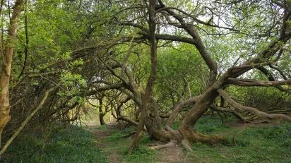 Tree on the 1066 battlefield - TurnrightoutofPortsmouth