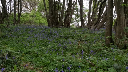 Bluebells on the 1066 battlefield - TurnrightoutofPortsmouth