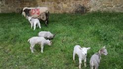 Lambs in the churchyard