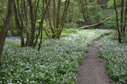 Wild Garlic, Hole Park