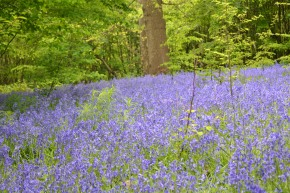 The Bluebell Wood, Hole Park
