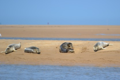Seals basking at Wells next the Sea