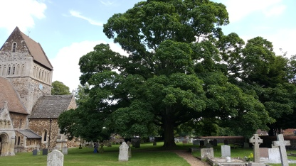Ancient tree in the churchyard at Castle Rising