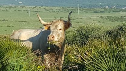 Cattle at Bolonia nr Baelo Claudia