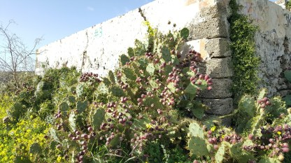 Impressive cacti in the ruins of Santa Catalina castle